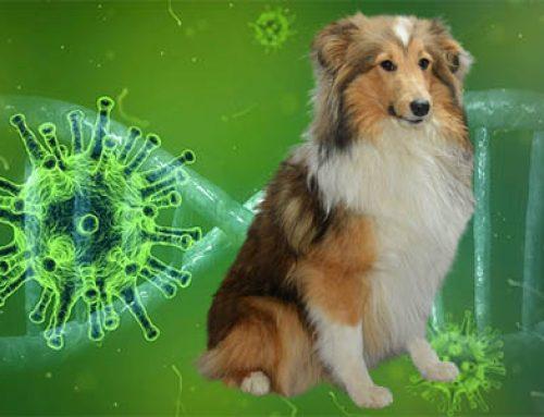 Kan je hond het coronavirus krijgen?