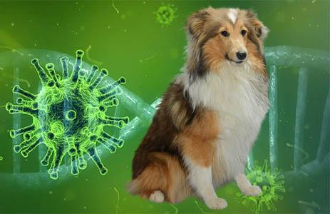 coronavirus hond